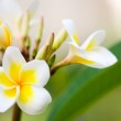Frangipani flowers — Stock Photo #4688705