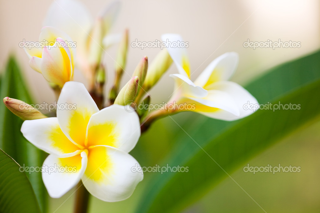 Beautiful white frangipani flowers in tropical garden  Stock Photo #4688705