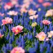Blue and pink flowers - Stock Photo
