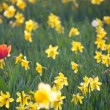 Tulip in Daffodils Field - Stock Photo
