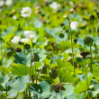 Lily Pond — Stock Photo #4696362