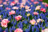 Blue and pink flowers — Stock Photo