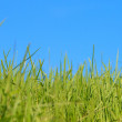 Green grass over blue sky — Foto Stock