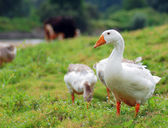 Geese in the meadow — Stock Photo