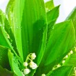 Lily-of-the-valley — Stock Photo #4674478