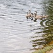 Family of swans — Stock Photo #5075046
