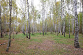 Birch trees in the forest — Stock Photo