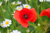 Poppy flowers and daisy — Stock Photo