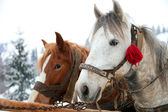 Horse heads in snowy forest landscape — Stock Photo