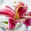 Lily, romantic mood — Stock Photo #4196089
