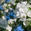 Apple blossom — Stock Photo #5365303