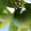 Lime tree — Stock Photo #5372184