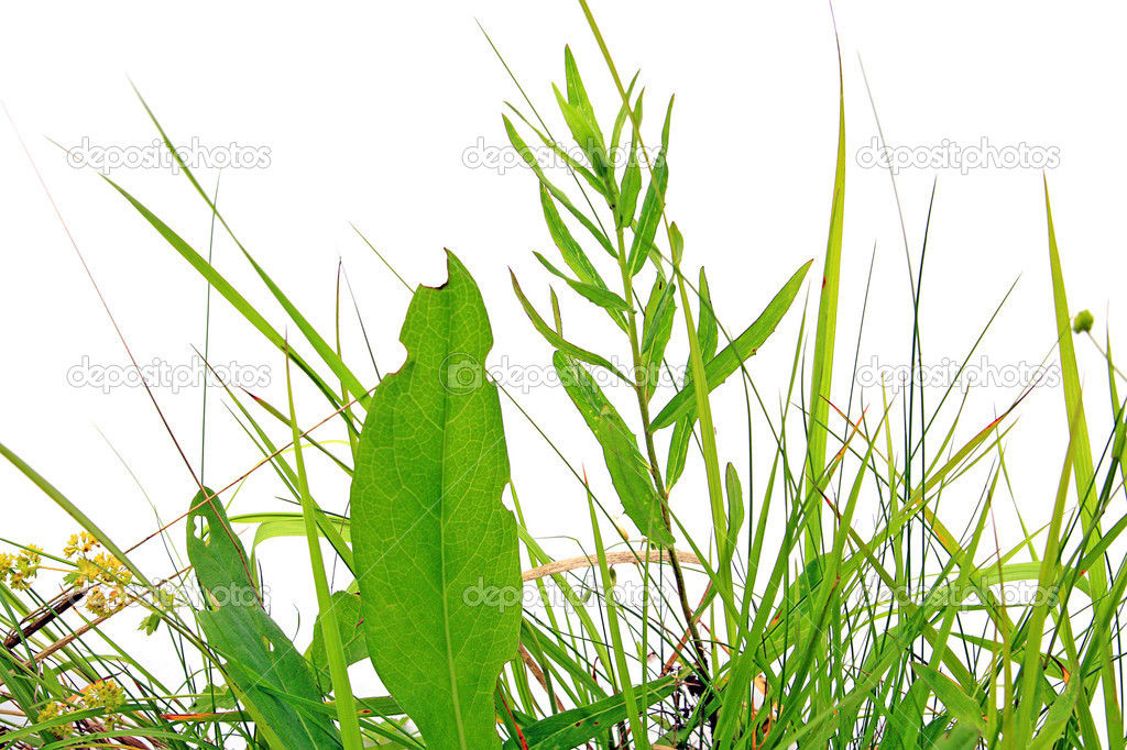 herb on white background — Stock Photo #4112759