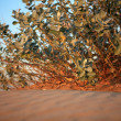 Stock Photo: Shrubs in sandy desert.