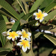 Stock Photo: Plumeria.