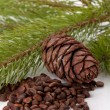 Siberian pine nuts and needles branch — Stock Photo #4877328