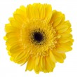 Yellow gerbera flower — Stock Photo #4877352