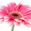 Pink gerbera flower on stem — Stock Photo #4928881