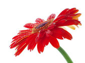 Water drops on red flower — Stock Photo