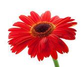 红色非洲菊花卉 — 图库照片