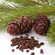 Siberian pine nuts and needles branch — 图库照片