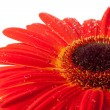 Red gerbera flower - Stock Photo