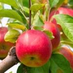 mele rosse sul ramo di albero di mela — Foto Stock #3923277