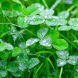 Clover with a dew drops on it — Stock Photo