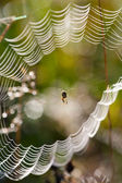 Spider in the web covered with morning dew — Stock Photo