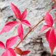 Close-up of a red ivy leaves on grey stone background — Stock Photo