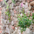 Beautiful flower growing on a brick wall — Stock Photo