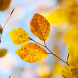 Close-up of an autumnal leaves on a blue sky background — Stock Photo #4055708