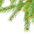 Stock Photo: Green pine tree branches isolated on white background