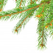 Green pine tree branches isolated on white background — Stock Photo