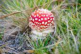Toadstool mushroom in the grass — Stock Photo