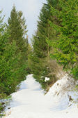 Green pine forest with a snowy path — Stock Photo