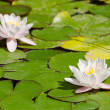 Two beautiful blooming pink water liliesl in the pond — Stock Photo #5004449