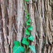 Green ivy vine crawling on the tree trunk — Stock Photo #5004525
