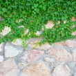 Stone wall and green plants — Stock Photo #5004639