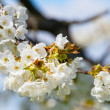 Royalty-Free Stock Photo: Spring blooming sakura cherry flowers branch