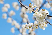 Spring blooming sakura cherry flowers branch — Stock Photo
