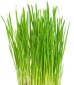 Fresh green grass on white background — Stock Photo
