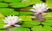 Två vackra blommande rosa vatten liliesl i dammen — Stockfoto