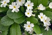 White primrose — Stock Photo