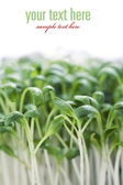 Sprouts — Stockfoto