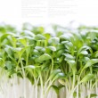 Foto de Stock  : Sprouts