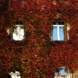 Victorian building facade covered with red ivy - Stock Photo