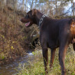 Young brown doberman - Stok fotoğraf