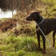 Young brown doberman — Stock fotografie