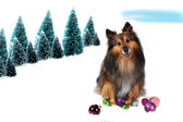 Sheltie Christmas dog in snow — Stock Photo